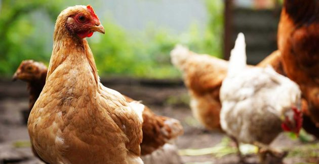 The Top Five Benefits of Backyard Chickens - Prairie's Choice